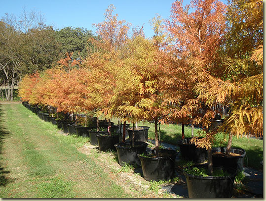 Texas Tree Farm Bald Cypress
