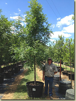 Chinese Pistache at our Texas Tree Farm