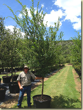 Lacebark Elm at our Texas Tree Farm