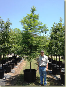Bald Cypress at our Texas Tree Farm