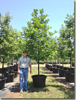Bur Oak at our Texas Tree Farm