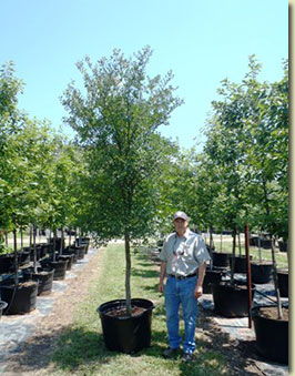 Cedar Elm at our Texas Tree Farm