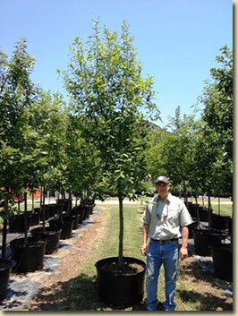 Mexican White Oak at our Texas Tree Farm