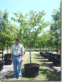 Texas Redbud at our Texas Tree Farm